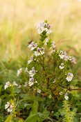 Eyebright, a semi-parasitic wildflower