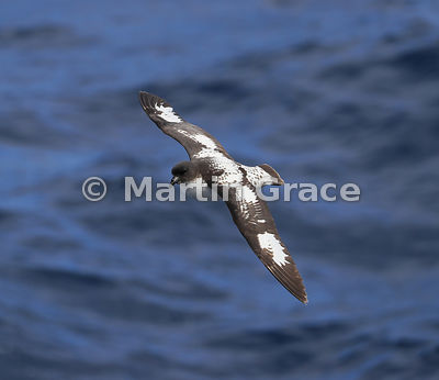 Cape Petrel (Daption capense) in flight, Drake Passage, Southern Ocean, Antarctica
