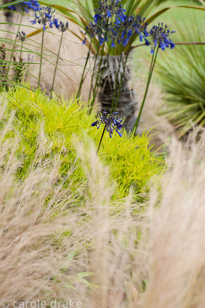 Coleonema pulchrum 'Sunset Gold' with Stipa tenuissima and Agapanthus inapertus