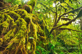 Temperate rainforest with moss covered trees - North America, USA, Oregon, Multnomah, Yeon State Park, Elowah Falls (Cascade ...
