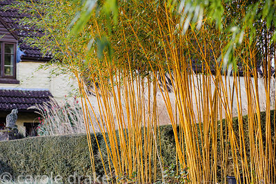 A screen of  Phyllostachys aureosulcata f. aureocaulis in the vegerable garden. Barn House, Brockweir Common, Glos, UK