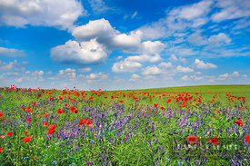 Corn poppy and vicias on rape field (lat. papaver rhoeas) - Europe, Germany, Mecklenburg-Vorpommern, Mecklenburg Lake Distric...