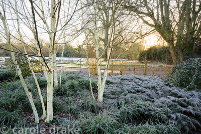 Multi-stemmed birches in the winter garden at Mottisfont