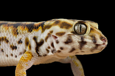 Persian wonder gecko (Teratoscincus keyserlingii)