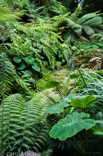 Bold foliage plants around a pond include ferns, tree ferns and colocasias