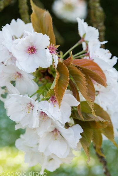 Prunus 'Taihaku'. Milton Lodge, Wells, Somerset, UK