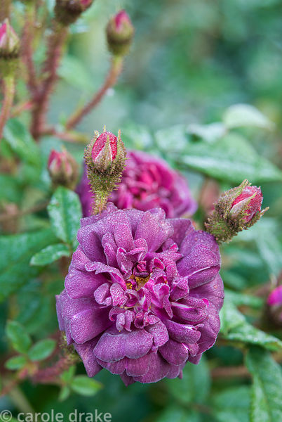Rosa 'Nuits de Young', AGM. Melplash Court, Bridport, Dorset, UK