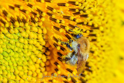 Bourdon butinant des fleurs de tournesol / Bumblebee on a sunflower