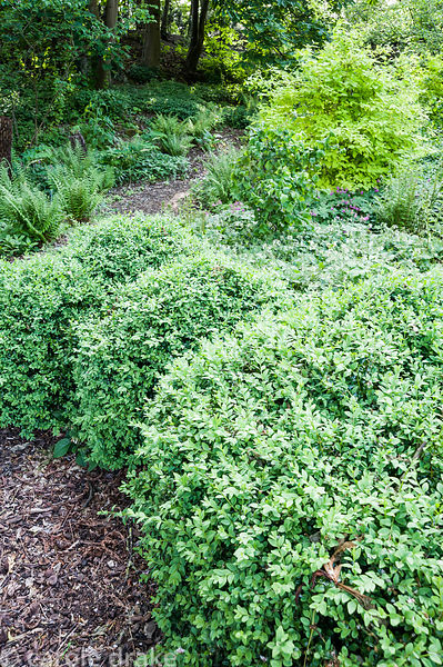 Paths meander through the dell garden between mounds of clipped box, acid bright Philadelphus coronarius 'Aureus', ferns, com...