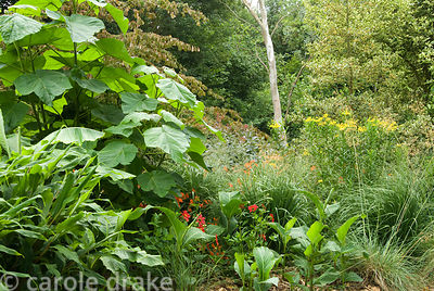 Large leaved Paulownia tomentosa amongst heleniums, hedychiums and grasses. Holbrook Garden,Tiverton, Devon, UK