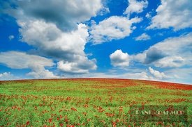 Corn poppy on rape field (lat. papaver rhoeas) - Europe, Germany, Mecklenburg-Vorpommern, Mecklenburg Lake District, Waren, S...