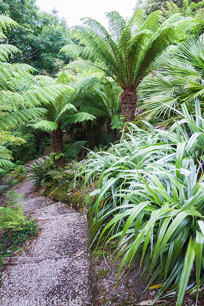 Bright astelias and trachycarpus above the tree fern glade