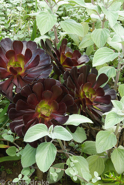 Striking combination of deep purple Aeonium 'Zwartkop' with silvery foliage of Plectranthus argentatus. Abbotsbury Subtropica...