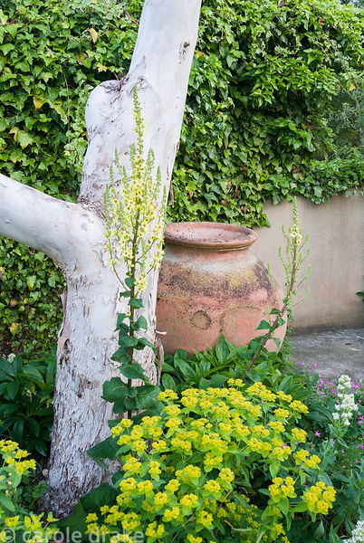 Large terracotta pot at base of eucalyptus in front of ivy covered wall and amongst euphorbia, Verbascum chaixii and white Ce...