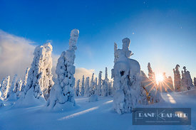 Boreal forest with snow covered spruces in winter - Europe, Finland, Eastern Lapland, Posio, Riisitunturi (Lapland, Riisitunt...