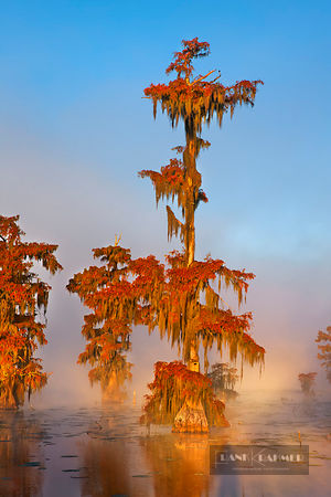 Bald cypress forest in fog (lat. taxodium distichum) - North America, USA, Louisiana, St. Martin, Lake Martin - digital