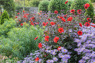 Dahlia 'Bishop of Llandaff' combined with asters, Verbena bonariensis and euphorbias in the walled garden. Haddon Lake House,...