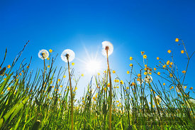Dandelion blowball and crowfoot with sun (lat. taraxacum officinale) - Europe, Germany, Bavaria, Upper Bavaria, Munich, Straß...
