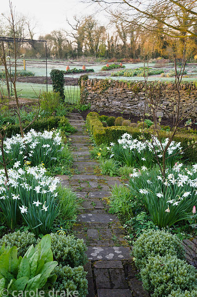Narcissus 'Thalia' in the Potager garden in beds edged with box and Hebe pinguifolia 'Sutherlandii', with vegetable beds in t...