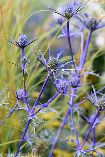 Eryngium bourgatii 'Picos Blue'. Dove Cottage Nursery & Garden, Halifax, West Yorkshire