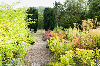 Path beside border of late summer perennials including asters with euphorbias and phlomis, leads toward a pair of fastigiate ...