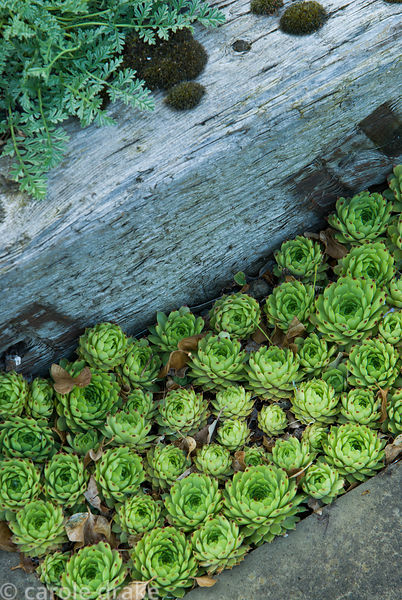 Sempervivums set into a gap in the paving below weathered railway sleepers containing a raised bed. Ivy Croft, Leominster, He...