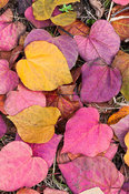 Fallen leaves of Cercis canadensis 'Forest Pansy'