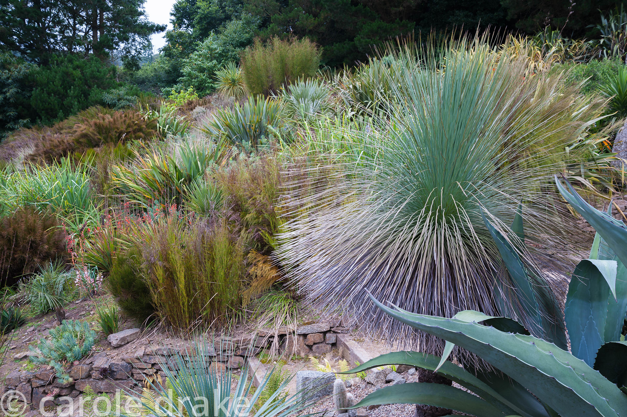 Bold foliage plants on dry banks include the grass tree, Xanthorrhoea glauca, agaves, restios and palms