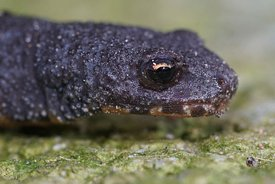 Closeup of the head a female terrestrial juvenile alpine newt , Ichthyosaura alpestris alpestris