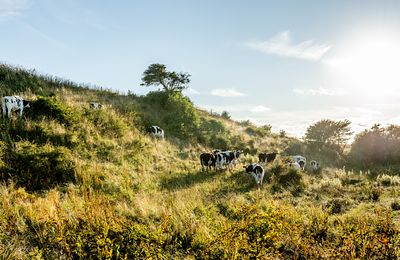 Cows on Mors, Denmark 2
