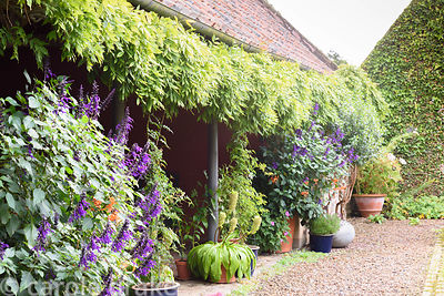 Containers of orange lilies and purple Salvia 'Amistad', eucomis and Hydrangea quercifolia below a tightly trained wisteria i...