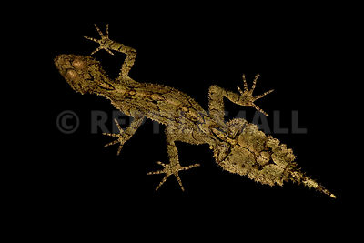 Border Ranges leaf-tailed gecko (Saltuarius swaini)