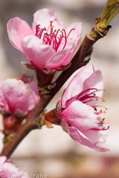 Pink flower of peach tree. Melplash Court, Bridport, Dorset, UK