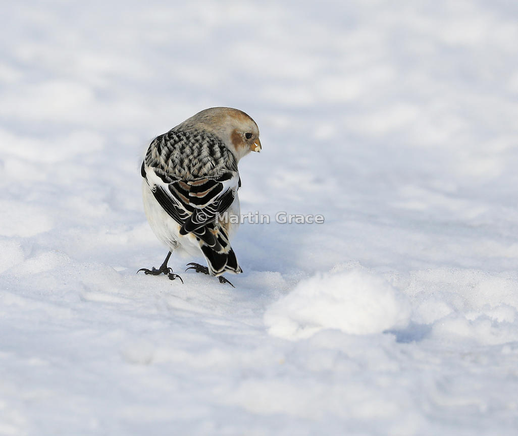 Snow Bunting (Plectrophenax nivalis insulae) adult male in winter plumage, Cairngorm, March 2