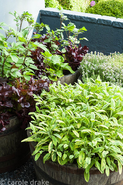 Variegated sage, thyme and lettuces in half barrels in the kitchen garden. Tony Ridler's garden, Swansea, Wales, UK