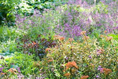 Euphorbia surrounded by red campion, Silene dioica.