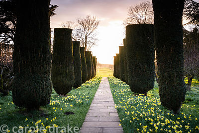 Yew avenue leading towards the focal point of a pyramid in the wider landscape, underplanted with naturalised daffodils at Do...