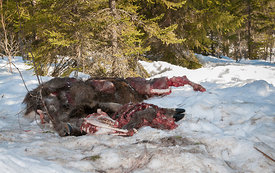Bjørnedrept elg / moose killed by brown bear (Ursus arctos)