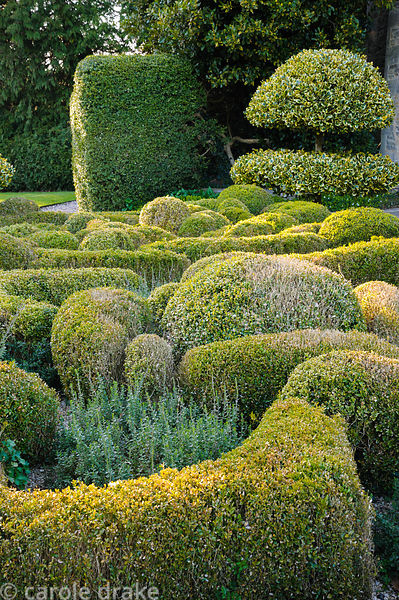 Undulating knot garden of box and teucrium with standard clipped variegated hollies, Ilex x altaclerensis 'Golden King'. Barn...