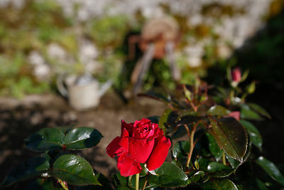 The blurring of the background is reinforced by the rocking towards the sky, only the image area which passes over the rose i...