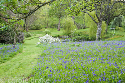 A carpet of bluebells in the upper garden with pond beyond.