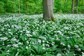 Bear garlic in beech forest (lat. allium ursinum) - Europe, Germany, Lower Saxony, Göttingen, Plesseburg - digital