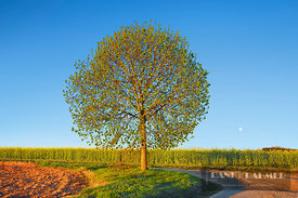 Lime tree and rape field in front of moon (lat. tilia) - Europe, Germany, Bavaria, Upper Bavaria, Dachau, Petershausen, Hohen...