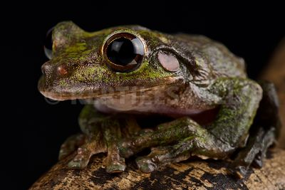 Fairy tree frog (Charadrahyla chaneque)