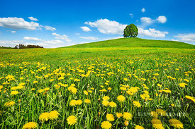 Agricultural landscape with dandelion meadow and lime tree - Europe, Germany, Bavaria, Upper Bavaria, Bad Tölz-Wolfratshausen...