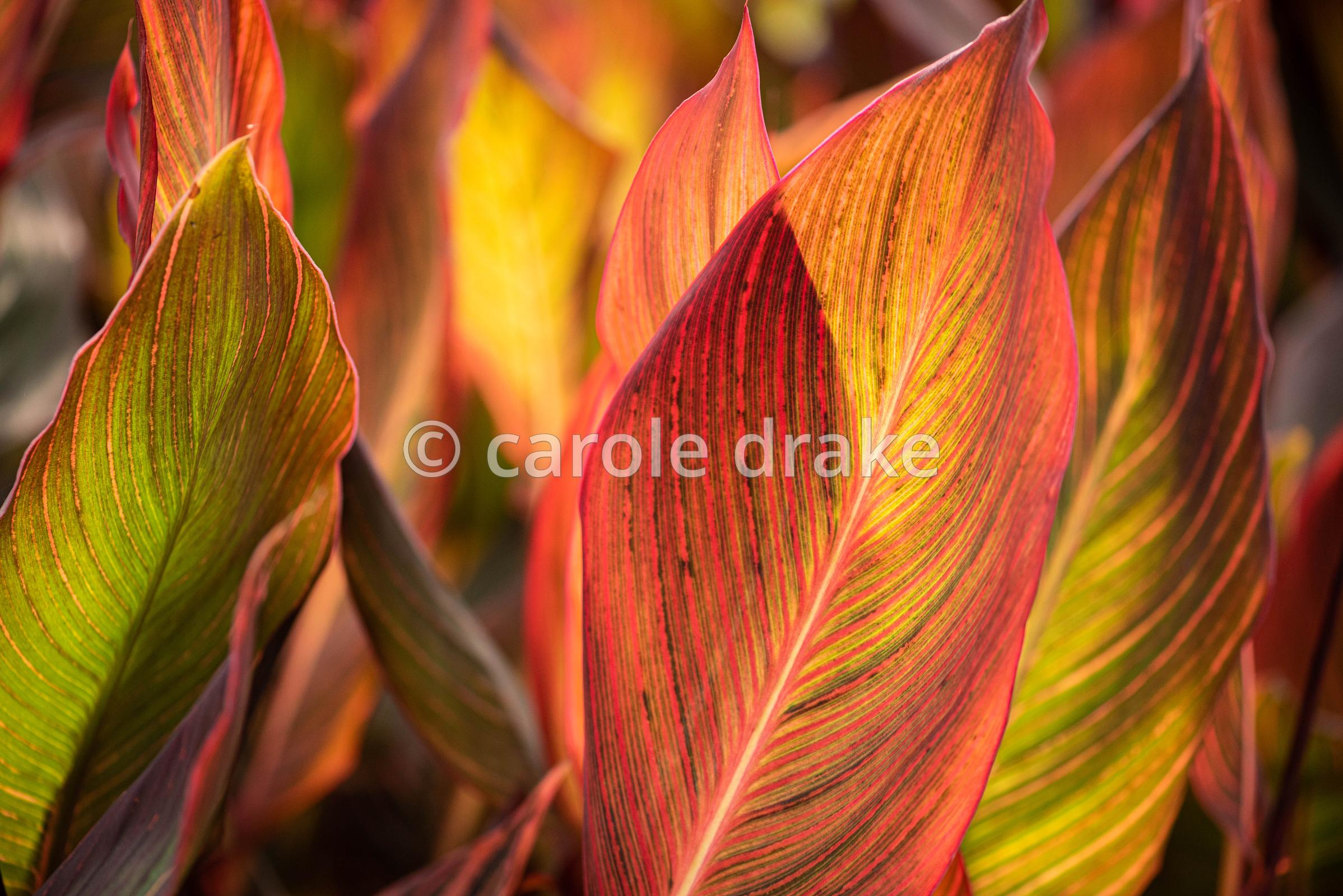 Canna 'Durban' in September at Hart's Cannas
