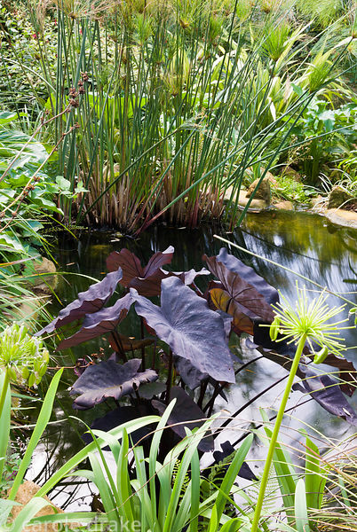 Inky purple heart shpaed leaves of Colocasia esculenta 'Black Magic' in the top pond on the Mediterranean Bank with Cyperus g...