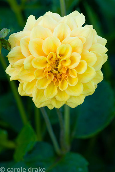 Dahlia 'Deepest Yellow'. Kingston Maurward Gardens, Dorchester. Dorset, UK