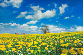 Dandelion meadow with barn (lat. taraxacum officinale) - Europe, Germany, Bavaria, Swabia, Forggensee, Roßhaupten, Huttlerwei...
