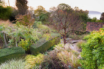 View down onto the garden at Barn House, Chepstow in October, with Prunus serrula surrounded by grasses including miscanthus ...